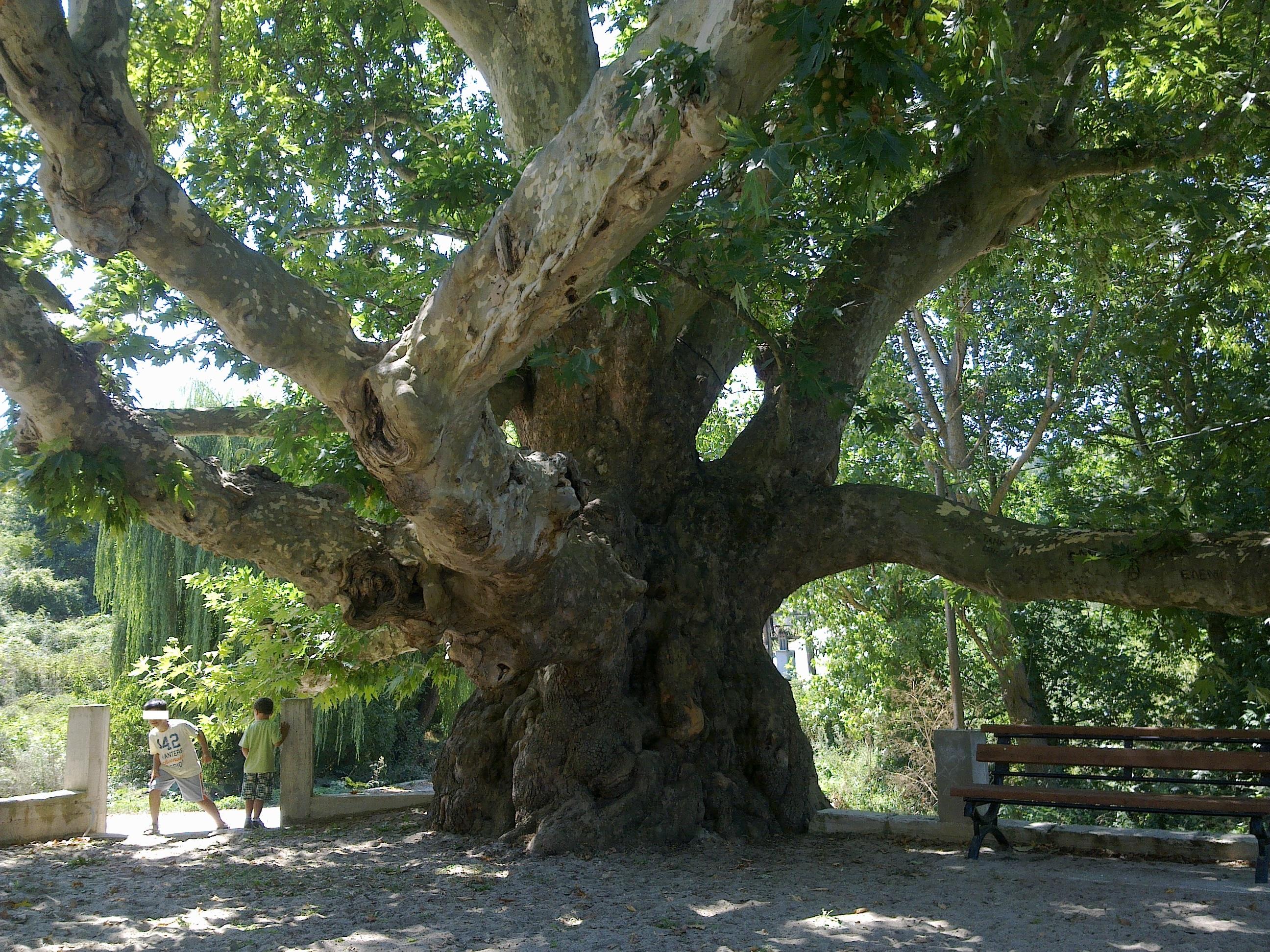 Under the Plane Tree